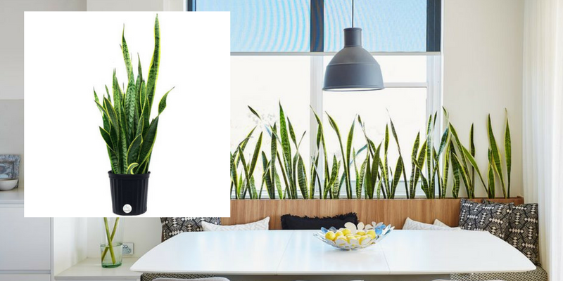 Air Cleaning Plants That Will Make Your Dining Room Cry For More 3