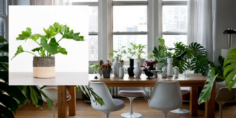 Air Cleaning Plants That Will Make Your Dining Room Cry For More 4